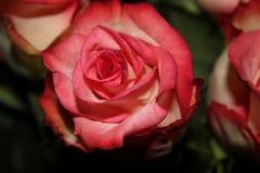 Rosa del rosa y del blanco Imagenes de archivo