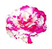 Rosa del rosa y del blanco aislada en el fondo blanco, foco suave foto de archivo libre de regalías
