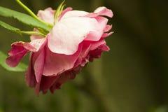 Rosa del verano, rosa china elegante, material foto de archivo