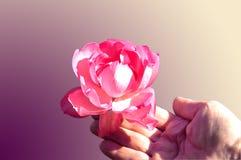 Rosa delicada Foto de Stock Royalty Free