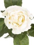 Rosa delicada do branco em um fundo branco Fotos de Stock Royalty Free