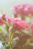 Rosa delicada do rosa Foto de Stock Royalty Free