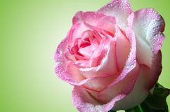 Rosa rosa delicata con le gocce di rugiada sul primo piano verde del fondo di pendenza immagine stock