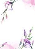 Rosa dell'acquerello, estoma rosa su fondo bianco per i saluti c Fotografia Stock Libera da Diritti