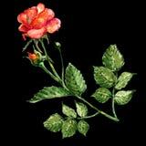 Rosa dell'acquerello su un fondo nero Priorità bassa floreale astratta Immagini Stock Libere da Diritti