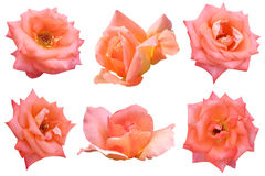 Rosa dell'arancio isolata Fotografia Stock Libera da Diritti