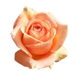 Rosa dell'arancio isolata su priorità bassa bianca Immagini Stock