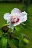 Rosa dell'ibisco di Sharon immagini stock libere da diritti