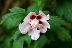 Rosa dell'ibisco di Sharon fotografia stock libera da diritti