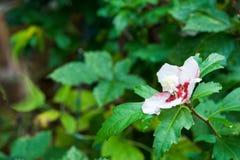 Rosa dell'ibisco di Sharon immagini stock