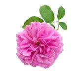 Rosa dell'oggetto d'antiquariato isolata su bianco fotografia stock libera da diritti
