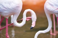 Rosa dell'uccello del fenicottero bello agli animali tropicali/fenicottero della natura del fiume del lago immagine stock libera da diritti