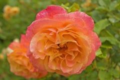 Rosa della rosa arancione in roseto dopo pioggia Fotografia Stock Libera da Diritti