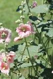 Rosa della malvarosa (Alcea) Fotografia Stock