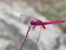 Rosa della mosca del drago fotografie stock libere da diritti