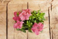 Rosa della petunia Fotografie Stock Libere da Diritti
