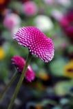 Rosa della primavera Fotografia Stock