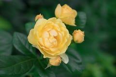 Rosa della specie Devtd Austin con i germogli sul cespuglio immagine stock
