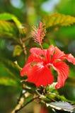 Rosa della Tailandia Immagini Stock
