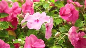Rosa delle petunie che fiorisce l'alto metraggio delle azione di definizione stock footage