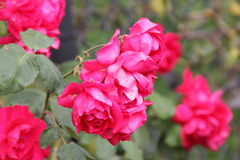 Rosa 'Demokracie', Blaze Improved. Climbing rose with dark green foliage and large red fragrant double flowers in clusters Royalty Free Stock Photos