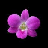 Rosa dendrobiumorkidéblommor Royaltyfri Fotografi