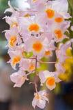 Rosa Dendrobiumthyrsiflorumorkidér Arkivbild