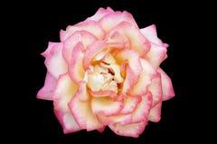 Rosa dentellare Immagine Stock