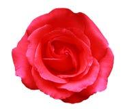 Rosa dentellare Immagini Stock