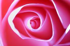 Rosa dentellare Immagini Stock Libere da Diritti
