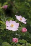 Rosa dentellare delicata Fotografie Stock Libere da Diritti
