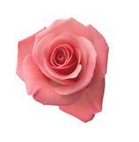 Rosa dentellare delicata Fotografie Stock