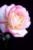 Rosa dentellare e bianca Iolated su Bk nero Fotografia Stock