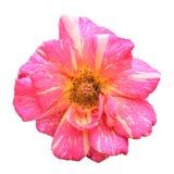Rosa dentellare isolata Fotografia Stock