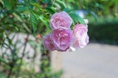 Rosa dentellare nel giardino Immagine Stock