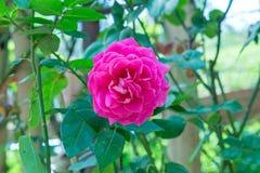 Rosa dentellare nel giardino Immagini Stock Libere da Diritti