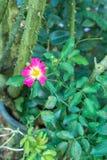 Rosa dentellare nel giardino Immagine Stock Libera da Diritti