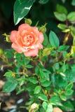 Rosa dentellare nel giardino fotografie stock