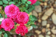 Rosa dentellare nel giardino Fotografia Stock Libera da Diritti