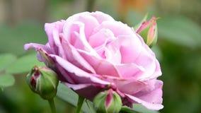 Rosa dentellare nel giardino video d archivio