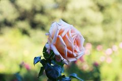 Rosa dentellare nel giardino fotografia stock