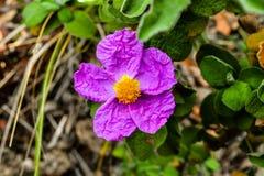 Rosa der wilden Blume Stockfotografie