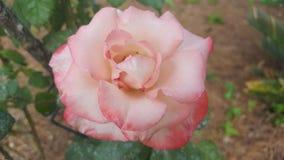 Rosa derrubada rosa do branco Foto de Stock Royalty Free