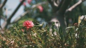 Rosa des allgemeinen Purslane und Rotes im Topf mit marco Modus im Nachmittag stockbilder