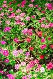 Rosa des Blumenhintergrundes Lizenzfreie Stockfotografie
