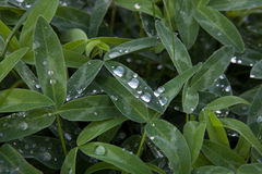 Rosa. Dew drops on young shoots of clover Stock Images