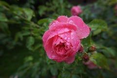 Rosa di Rosa bagnato Fotografia Stock