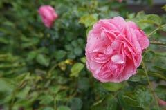Rosa di Rosa bagnato Fotografie Stock Libere da Diritti