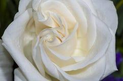 Rosa 3 di bianco Fotografia Stock Libera da Diritti