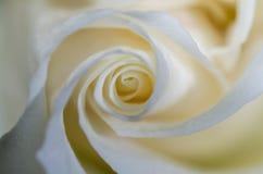 Rosa 4 di bianco Fotografia Stock Libera da Diritti